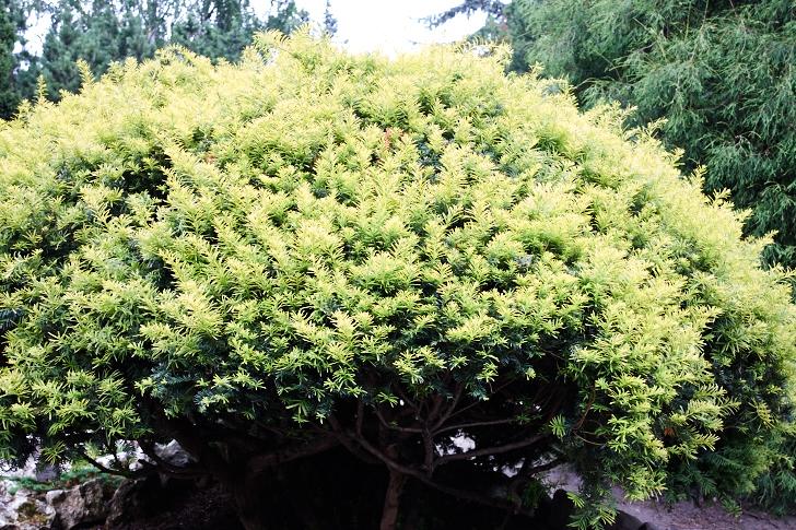Formklippt gul idegran, Taxus baccata f. aurea