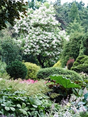 Vy över Krakows botaniska trädgård med manchurisk katalpa i bakgrunden