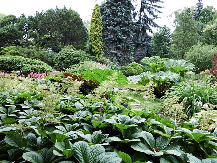 Blad och barr arrangemang i Krakows botaniska trädgård inkluderande jättegunnera