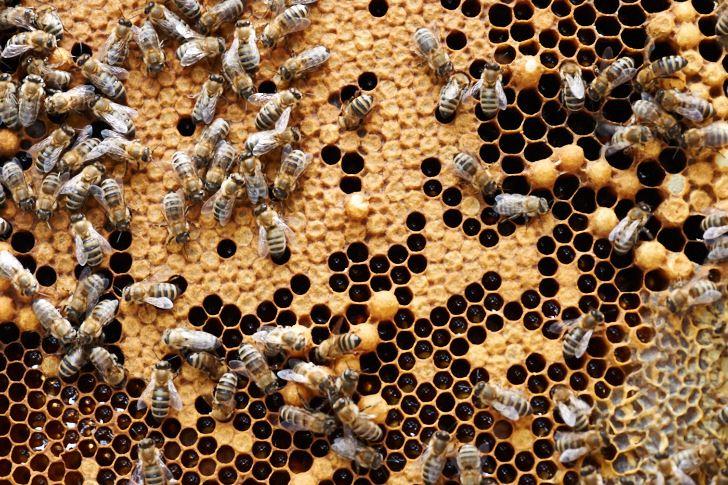 Mycket pedagogisk bild. De hexagoner som det blänker ur är honung som bina inte ännu bearbetat klar. Nere till höger finns honungsceller som är färdiga och täckts med vax. I de täckta cellerna i mitten utvecklas arbetsbin och de som sticker upp lite innehåller drönare. I de tomma hålen har felaktiga larver rensats ut.