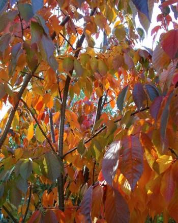 Bergkörsbär, Prunus sargentii