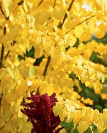 Katsura, Cercidiphyllum japonicum med blodamarant, Amaranthus cruentus
