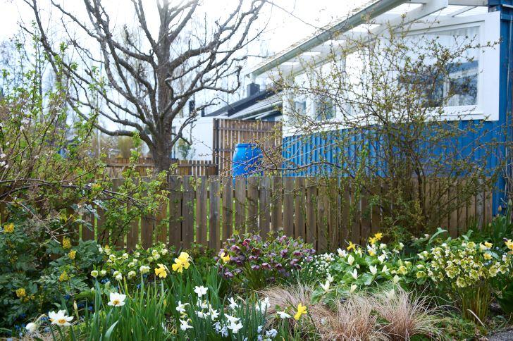 Under den tidiga våren täcks Klaas och Bodils nuvarande tomt i Västervik av blommande narcisser, julrosor och ett och annat treblad.