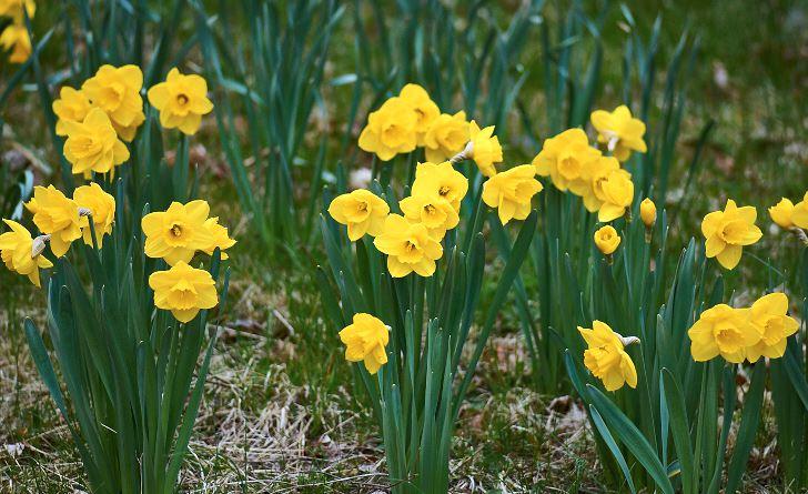 Upprättväxande, stabil och med varmt färgade blommor är påskliljan 'Camelot'. Bladverket är stiligt blåaktigt,