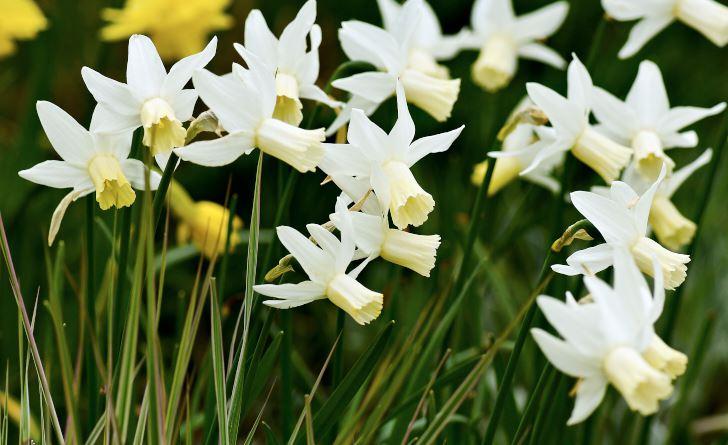 Cyclamineusnarcissen 'Jenny' är anspråkslös, väldoftande, blommar länge, förökar sig bra och passar både i rabatt och på naturtomten.