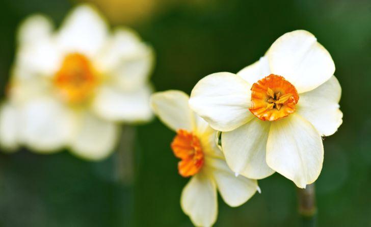 'Matador' ger mer än en blomma perstjälk. Den egenskapen har den ärvtav en trädgårdstazett, ennormalt sett är en icke härdig grupp av narcisser. Den andre föräldern är en pingstlilja, vilket syns på blomman.