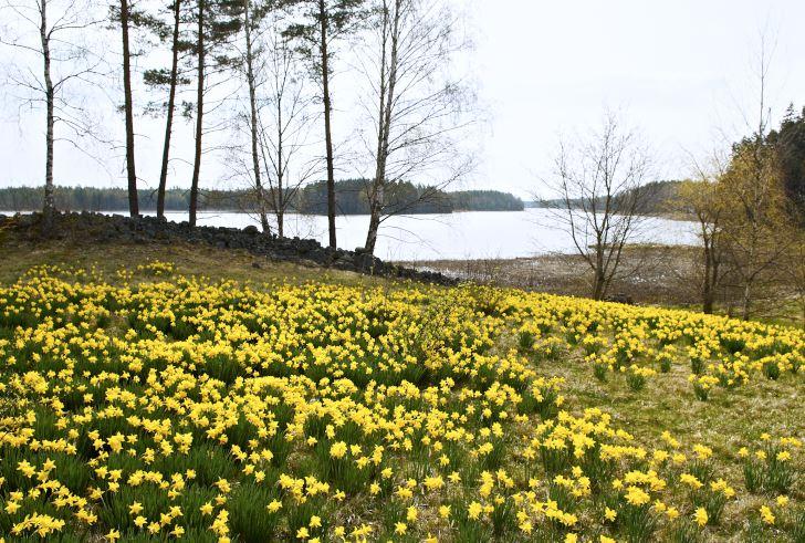 På ängen närmast stranden av sjön Rånen planterade Klaas och Bodil några hundra påskliljor