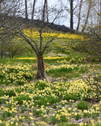 Påskliljan Narcissus pseudonarcissus var. humilis med  ursprung från släkten Hamiltons ägor i Boo.
