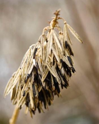 Många funkior har effektfulla fröställningar som står stadigt över vintern. På bilden daggfunkia, Hosta sieboldiana 'Elegans'.