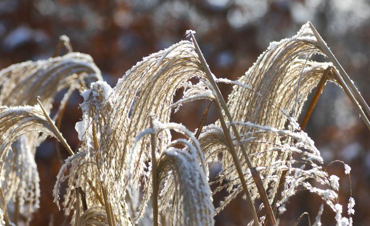 Glansmiskantus, Miscanthus sinensis, i olika sorter är suveräna för att skapa sagoliknande miljöer i trädgården på vintern. Med ett lager av tunn snö eller rimfrost i de yviga plymerna är de helt oemotståndliga. Blir ca 180 cm höga, vill växa i sol–halvskugga. Tål inte stående vinterfukt, räknas som halvhärdiga. På bilden sorten 'Malepartus'.