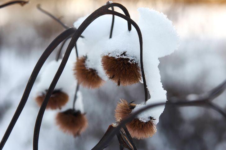Så här ulligt gulliga blir de torra fröställningarna av klippstånds, Ligularia dentata ''Desdemona'. En ca 90 cm hög, senblommande perenn som är mycket härdig, men måste odlas i varmt, soligt läge för att hinna blomma i de nordligare delarna av landet. Annars går den bra i sol–halvskugga.