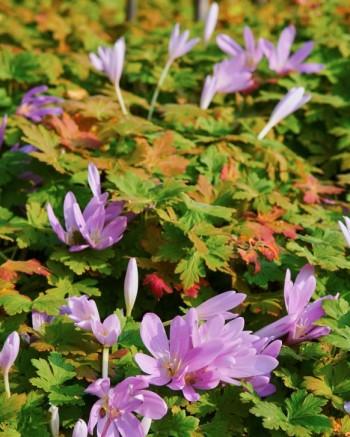 Tidlösa, Colchicum autumnale