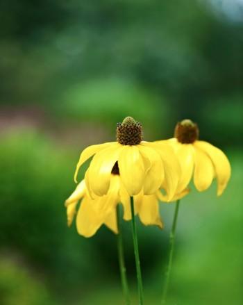 Höstrudbeckia, Rudbeckia laciniata, 'Juligold', inte bara sanslöst vacker manshög perenn utan också så stadig att den står stadig även efter en storm. Härdig upp till Mälardalen,