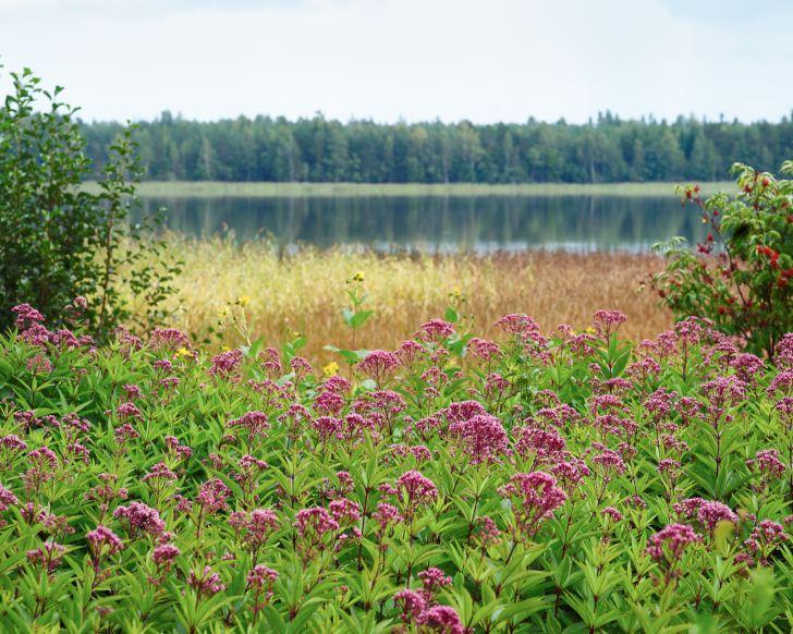 Fläckflockel, Eupatorium maculatum, med sjön Rånen i bakgrunden, kan bli upp till 2 meter hög. Passar utmärkt där man vill skapa en grön miljö snabbt eller inte har tid för skötsel. Härdig en bit upp i Norrland men kräver dränering på vintern.