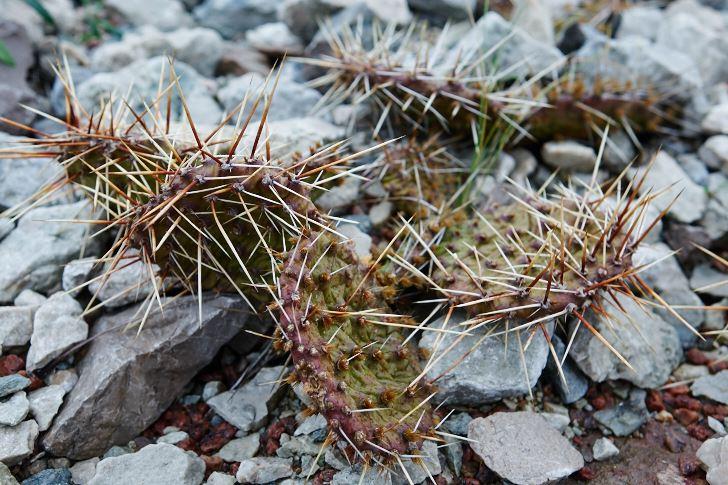 Opuntia som helt normalt vintrar in.  Kommer att skrumpna ännu lite mer, cellerna måste tåla många minusgrader. På våren svääler den upp till en riktig kaktus igen. Måste stå mer än väldränerat!
