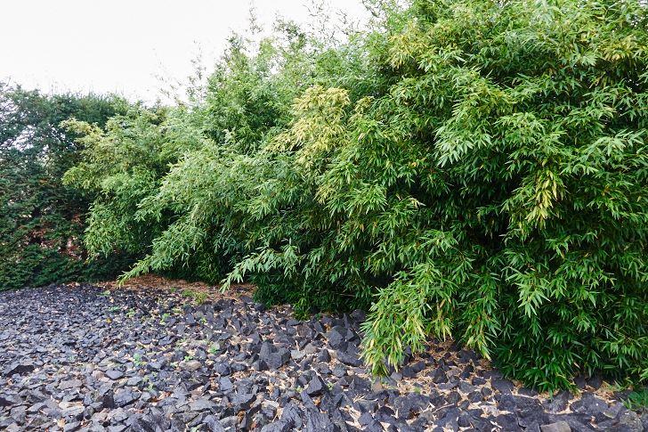 Japanska trädgården.  ett mästerverk i bambu och svart granit. För bara ett par år sedan, inna bambun vuxit till sig, förstod i alla fall inte jag vitsen med den,  Men John Taylor, som skapat den tänkte längre än så. det hårda mot det mjuka.