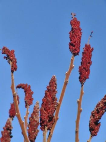 Rönnsumakens, Rhus typhina, kraftiga fruktkolvar håller färgen under hela vintern och är så här fräscha fortfarande i slutet av mars. Vill växa i sol och är härdig till zon 3.