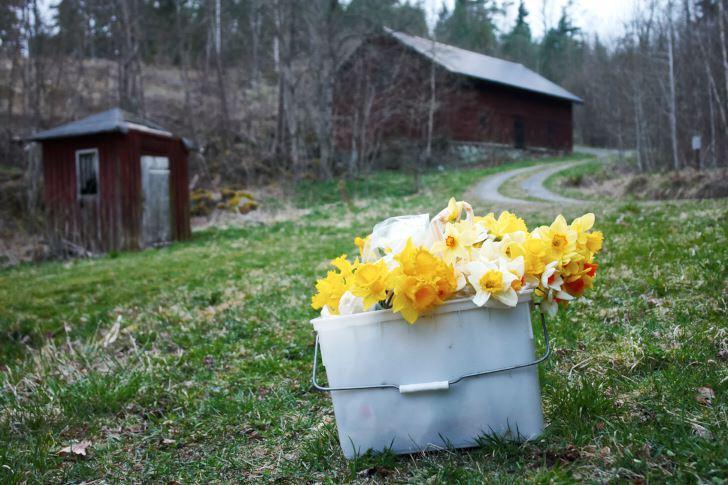 Påsklijor och andra narcisser är utmärkta snittblommor, som man inte ska dra sig för att plocka några av i sin trädgård även om man inte planterat i samma överflöd som Klaas och Bodil.
