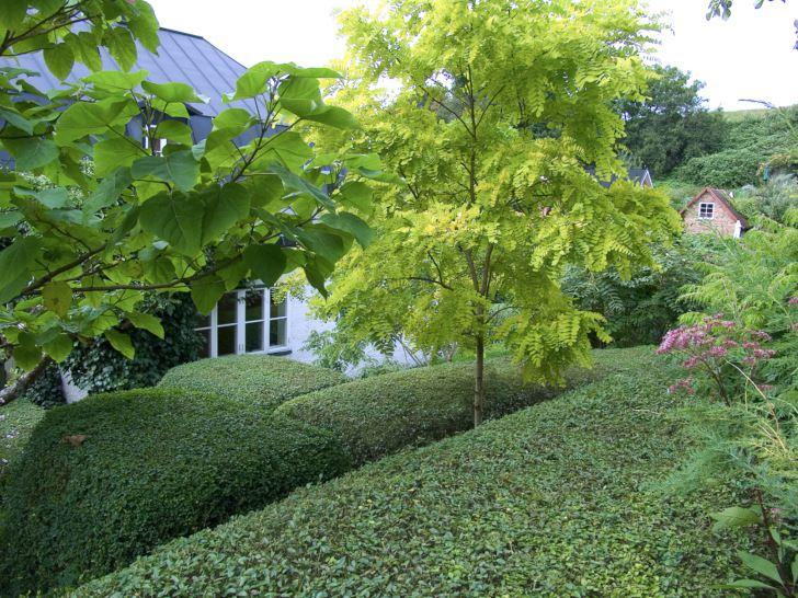 En gul robinia, Robinia pseudoacacia 'Frisia', med ljust gulgröna blad och elegant fritt växtsätt kontrasterar mot de strikt klippta mörkgröna ligusterhäckarna. Ett iögonfallande vackert blickfång i Gunnar Martinssons trädgård på Ven. Gul robinia är endast härdig i odlingszon 1.