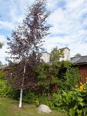 Finsk rödbjörk, Betula pubescens 'Rubra' Norrlands finaste träd och frodig ålandsrot, Inula helenium.