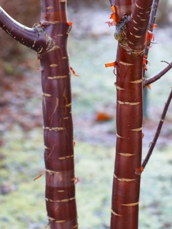 Glanskörsbär, Prunus serrula, har en attraktiv spegelblank mahognyröd bark som kommer väl till sin rätt under vintern. Den trivs i sol–halvskugga och är härdig till zon 3, möjligen 4 i gynnsamma lägen.