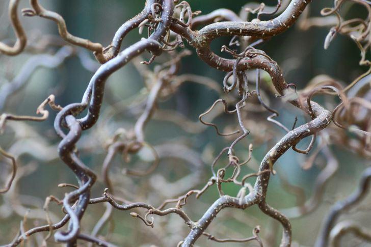 Ormhassel, Corylus avellana 'Contorta', är som vackrast som avlövad när det starkt vridna grenverket är fullt synligt. Trivs i sol–halvskugga och räknas som härdig till zon 3.