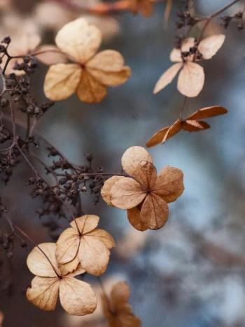 Klätterhortensians, Hydrangea anomala ssp. petiolaris, näpna torra blommor sitter kvar in på vintern och ser ut som vore de gjorda av silkespapper. Det här är en växt som trivs bra i halvskugga–skugga och är härdig till zon 4.
