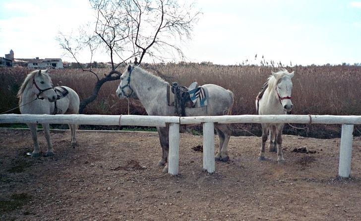 Vita hästar i väntan på ryttare, Camargue