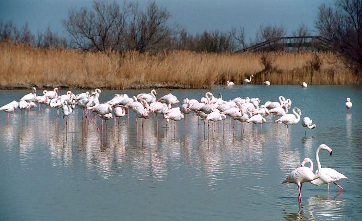 Rosa flamingo i Camargue