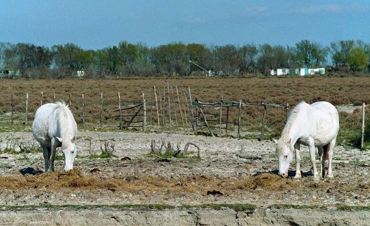 Vita hästar i Camargue