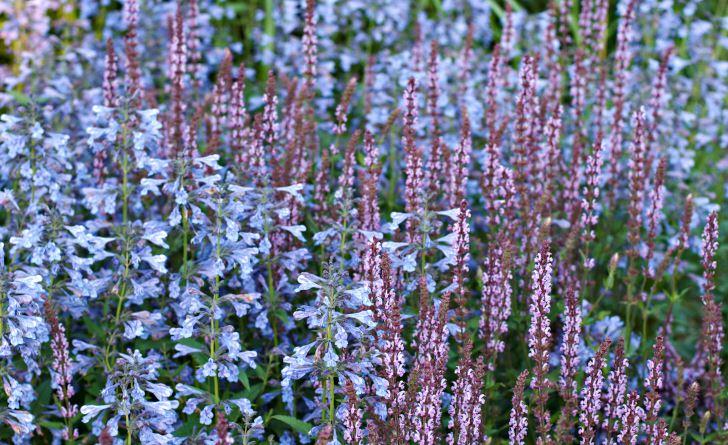 En häftig kombination där det är soligt och väldränerat men inte alltför torrt är stäppsalvia 'Amethyst' och kashmirnepeta, Nepeta clarkei. Båda växterna finns i många olika arter, sorter och färger.