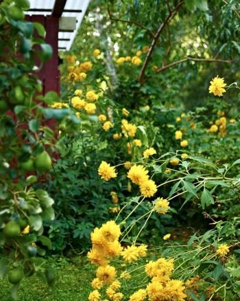 Gullboll, Rudbeckia laciniata var. hortensia