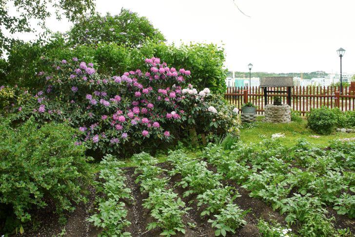 Det är klart att man ska odla potatis på en kolonilott. På Tantolundens solstekta södersluttningar har de hunnit växa rejält redan så här i rododendronblommornas tid. Sorten 'Minerva' är en av Roberts favoriter, frisk och ofta färdig att ta upp till midsommar.