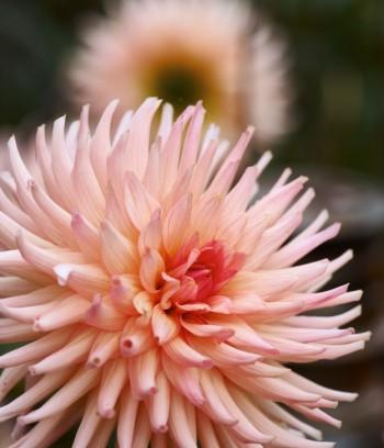 En viss preferens är det lätt att få för kaktusdahlian, Dahlia × pinnata 'Preference'.