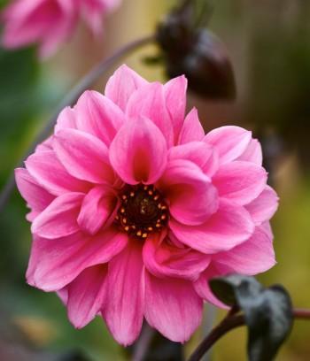 Visst har dekorativdahlian, Dahlia × pinnata 'Fascination', ett fascinerande färgspel.