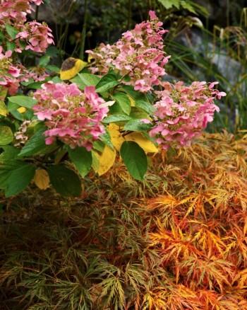 Flikbladig japansk lönn, Acer palmatum 'Garnet' och vipphortensia, Hydrangea paniculata 'Pink Diamond'