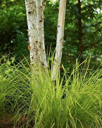 Himalayabjörk, Betula utilis var. jacquemontii och gulbladig bunkestarr, Carex elata.