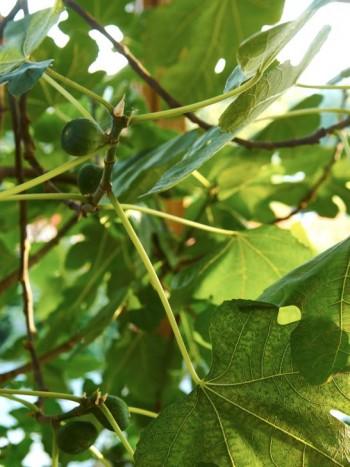 I uterum trivs fikon utmärkt. Med svala vintrar och varma, ljusa somrar växer de så det knakar och ger gott om frukt.