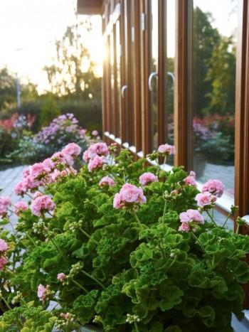 Stora, frodiga, rosa pelargoner i krukor är placerade på uteplatsen framför vinterträdgården. De fungerar både som avgränsare och blickfång. Sorten heter 'Mårbacka'.