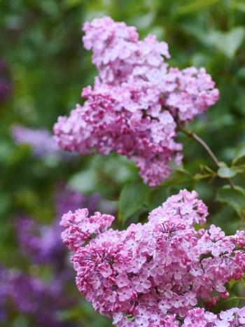 Pingstsyren, Syringa x hyacinthiflora