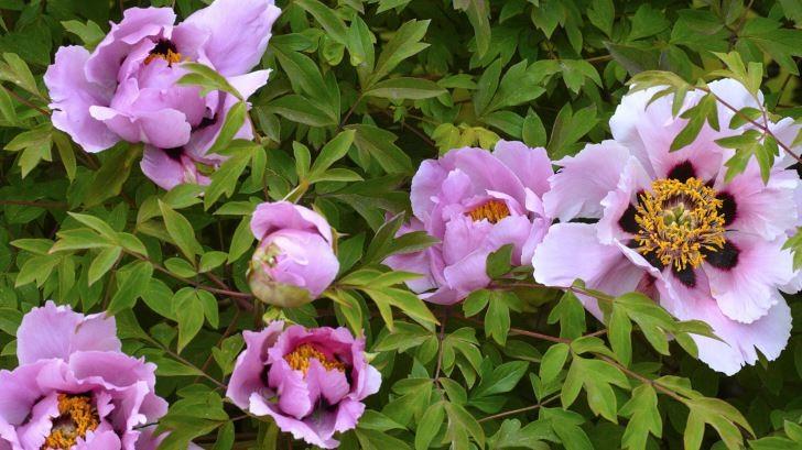Buskpion, Paeonia × suffruticosa