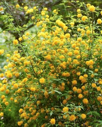 Fylld kerria, Kerria japonica 'Pleniflora'