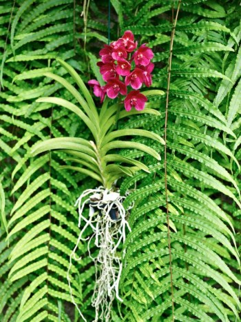 I minimala plastkrukor kan vissa orkidéer gärna odlas bara de får lagom med vatten. Om man dessutom har hängande ormbunkar till bakgrund kan man skatta sig lycklig.