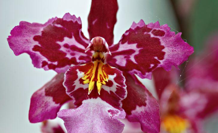 Lättskött som en Phalaenopsis och med måttliga krav på ljusmängd är Wilsonara Lisa Devos.