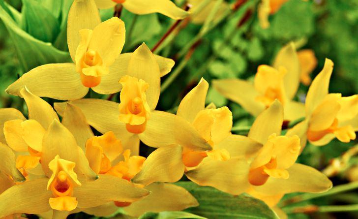 Ett exempel på en vild art från Centralamerika som hjälpligt kan odlas i rumsmiljö om man är skicklig är gul lykaste, Lycaste aromatica. Behöver mycket ljus men inte gärna direkt sol. Doftar kanel.