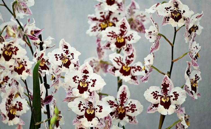 En lättodlad och slående modern hybrid är Odontoglossum Anna-Claire.