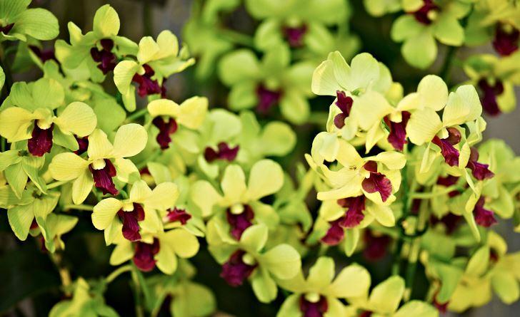 Lysande limegrön är Dendrobium Anna Green. Dessutom anses den lättodlad, växer bra och är blomvillig.