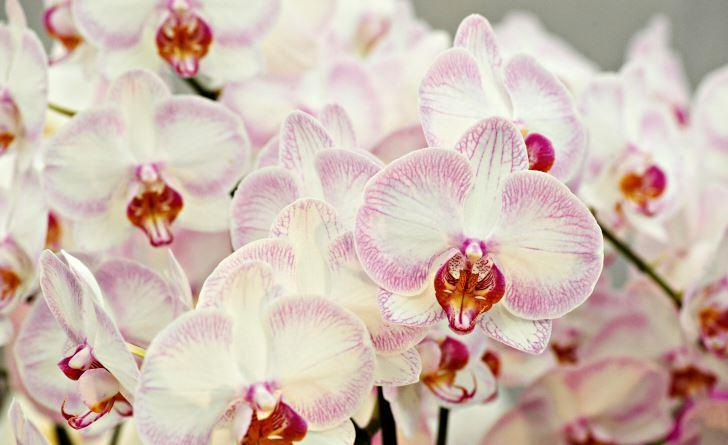 Blomma alla årstider kan Phalaenopsis Newberry Parfait 'Picotee' göra, en hybrid med ursprung i USA. Trivs på fönsterbrädan och lär också klara sig bra i artificiellt ljus.