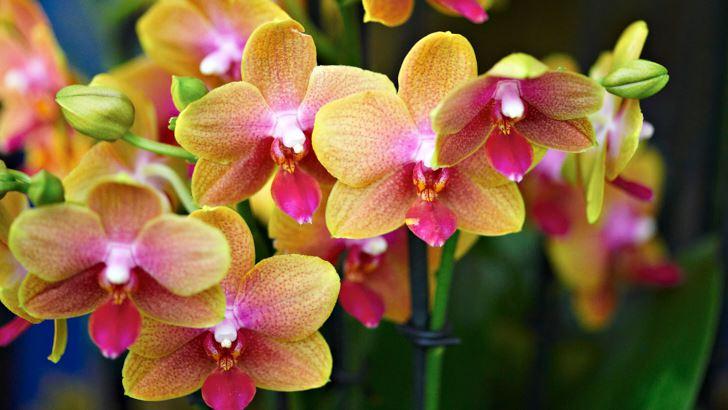 Både uppseendeväckande och väldoftande är Phalaenopsis Brother Sara Gold 'Magical'.