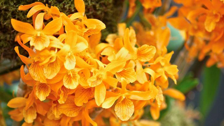 Blommar på våren gör Dendrobium Stardust 'Firebird', hybridiserad i Japan. Växer kraftfullt men håller sig ändå kompakt.